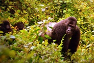Targeted patrols by park rangers are a lifeline for Grauer's gorillas