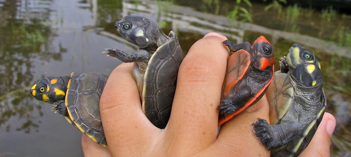 Participatory monitoring and conservation of turtles in the Brazilian Amazon