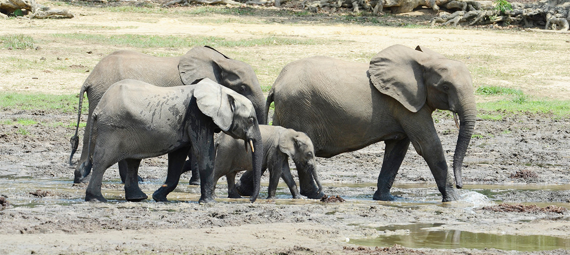 Ranger patrols save forest elephants